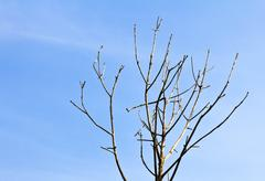 leafless tree branches on blue sky background - stock photo
