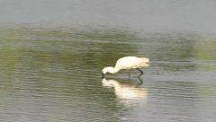 Common spoonbill / Platalea leucorodia Stock Footage