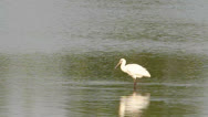 Stock Video Footage of common spoonbill / Platalea leucorodia