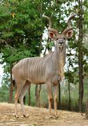 Kudu Stock Photos