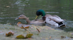 Ducks mating on the pond Stock Footage
