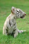Baby white tiger Stock Photos