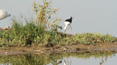 Black-winged stilt on the nest / Himantopus himantopus Stock Footage