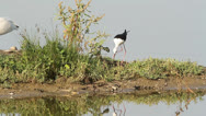 Stock Video Footage of black-winged stilt on the nest / Himantopus himantopus