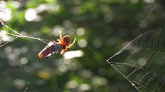 Spider with Breakfast Stock Footage