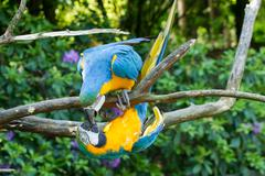close-up of two macaw parrots - stock photo