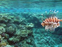 Fish rooster Stock Footage