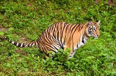 Bengal Tiger Kuvituskuvat