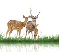 axis deer family with green grass isolated - stock photo