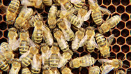 Stock Video Footage of Bees on the honeycomb. 3