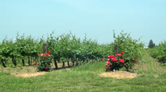 Roses at the Vineyard Stock Footage