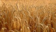 Stock Video Footage of Golden wheat field