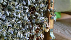 Bees on the honeycomb, and  bigger single cell from which queen is hatched Stock Footage