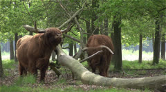 Scottish Highlanders shaking there head in slowmotion 400fps Stock Footage