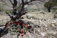 claret cup cactus blooms under a dying juniper at guadalupe mountains nationa - stock photo
