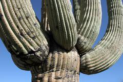 giant saguaro, carnegia gigantea - stock photo