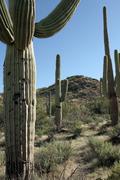 Giant saguaro, carnegia gigantea Stock Photos