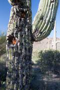 Saguaro cactus, carnegiea gigantea Stock Photos