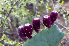 Prickly pear cactus, opuntia Stock Photos
