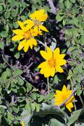 Dwarf sunflower Stock Photos