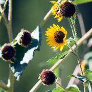 sunflower, helianthus - stock photo