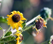 Sunflower, helianthus Stock Photos