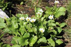 White Marsh Marigold, caltha leptosepala Stock Photos