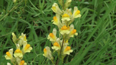 Yellow Toadflax (linaria vulgaris) blooming in grassland - close up Stock Footage