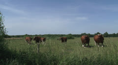 Dutch Deep Red cattle herd, cows in pasture - on camera Stock Footage