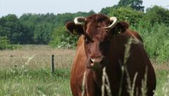 Deep Red cattle, cow in pasture - on camera 02 Stock Footage