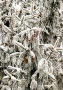 Snow covered firs branch Stock Photos