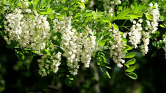 White Acacia flowers Stock Footage