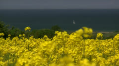 Yellow Field with Oil Seed Rape - Baltic Sea, Northern Germany Stock Footage