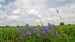 Beautiful wild flowers closeup (Polygala amara) Stock Footage