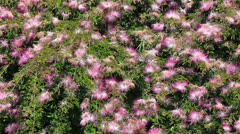 Decorative bush with pink flowers and bees Stock Footage