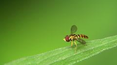 Tiny Hoverfly Stock Footage