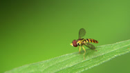 Stock Video Footage of Tiny Hoverfly