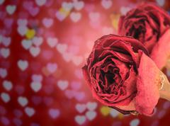 Stock Photo of dual beautiful dry red rose on blur heart bokeh