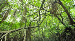 dense mangroves and hanging roots. sri lanka, bentota - stock footage