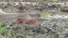 Hippopotamus in mud pool Stock Footage