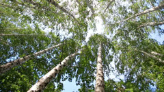 Turning tops of summer birch trees with sun shining - loopable Stock Footage
