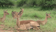 Stock Video Footage of Flock of impala antelope