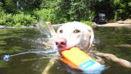 Stock Video Footage of Retriever Fetching Toy in Lake 2