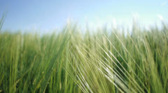 Natural recourses wheat field Stock Footage