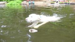 Retriever Fetching Toy in Lake 3 Stock Footage
