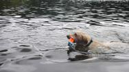 Stock Video Footage of Retriever Fetching Toy in Lake 4