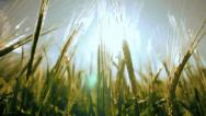 Stock Video Footage of harvest agriculture wheat corn