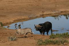 Warthog vs Buffalo - stock photo