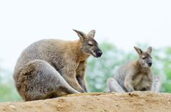 Two wallabies Stock Photos
