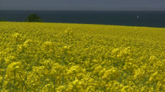 Yellow Field with Oil Seed Rape at the Baltic Sea - Northern Germany Stock Footage